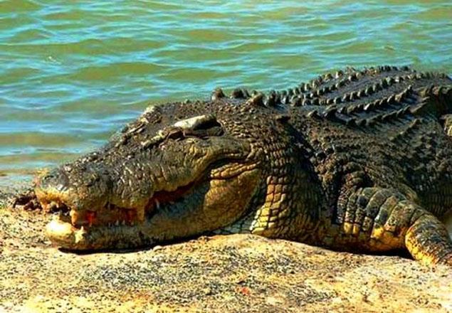 Cá sấu nước mặn Australia: kẻ đi săn nghiện phơi nắng