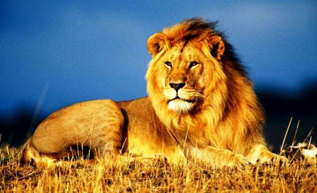 Sư tử châu Phi: chuyên gia săn mồi