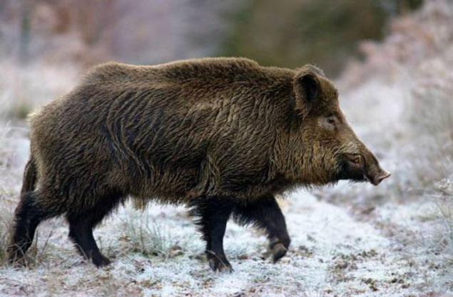 Lợn rừng: quái thú vang danh cách đây hơn chục triệu năm