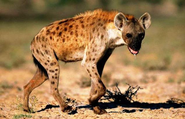 Linh cẩu: giống chó hoang dại trên đồng cỏ