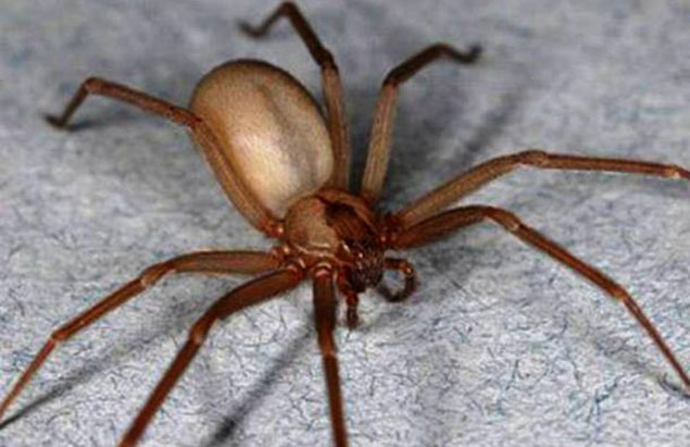 Nhện Brown Recluse