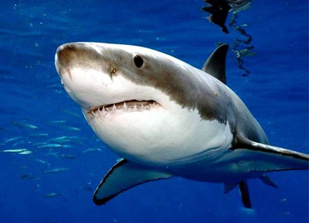 Cá mập trắng lớn