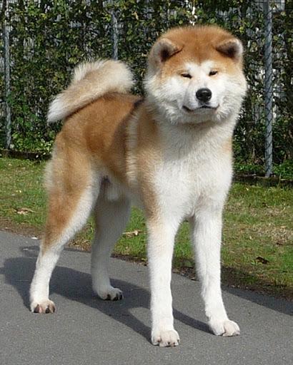 Cách chọn giống và chăm sóc chó Akita