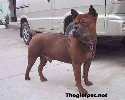 chó cảnh Chongqinh - Loài chó quí hiếm của tỉnh Trùng Khánh, Trung Quốc