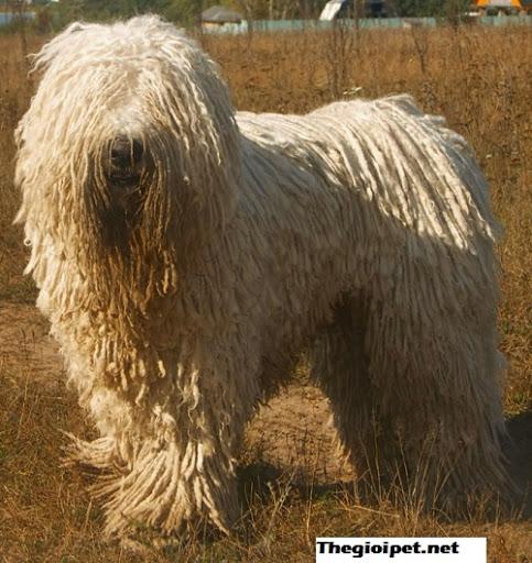 chó Komondor – Kẻ có bộ lông kì dị