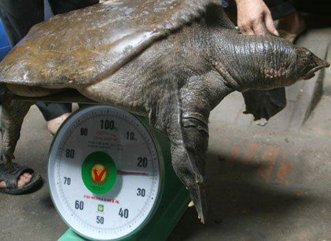 """Con ba ba nặng 24kg, rộng 60cm, dài hơn 1m được người dân ở chân cầu Chương Dương, Hà Nội bắt vào tháng 10 năm ngoái. Chuyên gia nghiên cứu về rùa Hà Đình Đức khẳng định con ba ba trên có nguồn gốc từ Nam Bộ, tên thường gọi là cua đinh, trên lưng thường có những nốt sần tròn. """"Loại này có thể nặng tới 40-50kg. Trước đây tại hồ Bảy Mẫu trong công viên Thống Nhất cũng bắt được một con ba ba như trên, nặng tới 30kg"""", ông Đức nói.  Ông Đức cho biết thêm, con ba ba bắt được trên sông Hồng có thể là do nhà người dân nuôi nhốt và thoát ra ngoài. Năm 2007, ba ba đã được sách đỏ Việt Nam xếp vào loại nguy cấp, đang đứng trước nguy bị tuyệt chủng."""