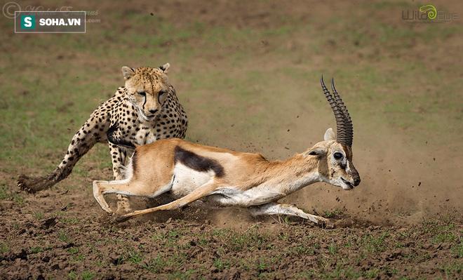Pha săn mồi đỉnh cao chỉ trong 25 giây của báo săn châu Phi - Ảnh 1.