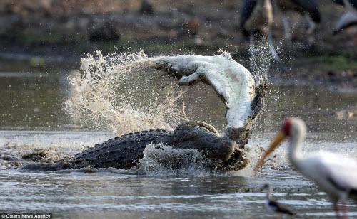 Rùng mình với cảnh cá sấu khổng lồ xé xác đồng loại - 2