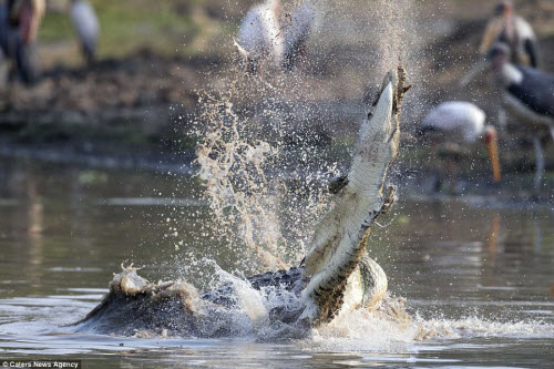 Rùng mình với cảnh cá sấu khổng lồ xé xác đồng loại - 3