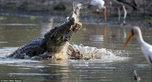 Rùng mình với cảnh cá sấu khổng lồ xé xác đồng loại - 6