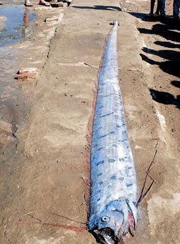 Người dân Thanh Hóa bắt con cá này ở khu vực Nghi Sơn, Tĩnh Gia. Con cá có chiều dài 3,98m, nặng gần 30kg, phần thân to nhất rộng 0,4m. Ngư dân địa phương cho biết chưa từng nhìn thấy con cá có hình dạng giống con cá lạ này. Bình thường con cá hố có hình dạng gần giống to nhất cũng chỉ khoảng 5 đến 7kg.  Các cán bộ chuyên ngành thuỷ sản của Chi cục Khai thác và Bảo vệ nguồn lợi Thuỷ sản Thanh Hoá nhận định: đây là loài cá hố rồng có tên khoa học là Trihiuruc muiticus. Do cá đã già, kích thước lớn khác thường nên hình dáng hơi khác với những con cá hố rồng khác.