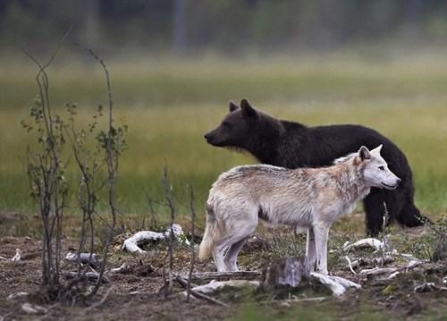 Hình ảnh Cận cảnh gấu nâu huyết chiến với sói xám để giành mồi số 3