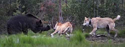 Hình ảnh Cận cảnh gấu nâu huyết chiến với sói xám để giành mồi số 4