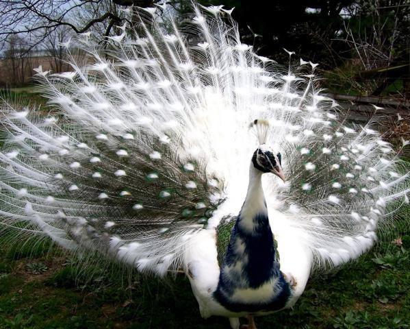 Bạn biết gì về Khổng Tước, loài chim Phật Mẫu cao quý? - Ảnh 7.