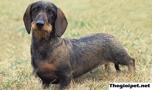 chó cảnh Dachshund - Thợ săn hang hốc