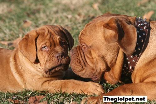 French Mastiff - Chó ngao Pháp