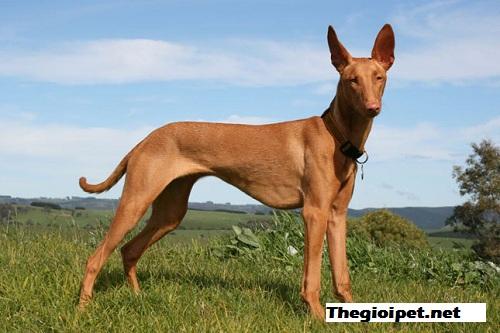 chó cảnh Pharaoh Hound – Chó săn của các vị vua Ai Cập