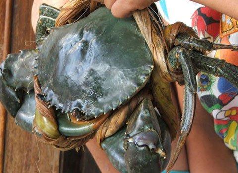 Cua khổng lồ ở đầm Ô Loan, huyện Tuy An, Phú Yên được ngư dân bắt vào tháng 10/2010. Con cua có kích cỡ dị thường, nặng 1,5kg, với chiếc càng to gần bằng cổ tay người lớn. Khi cua bung càng chiều dài toàn thân đo được là 60cm, đường kính mai cua gần 10cm. Những người sống lâu năm ở vùng này cho biết, đây là con cua Sen sống ở đầm lầy, nhưng kích cỡ lớn như con cua này thì lần đầu tiên mới thấy.