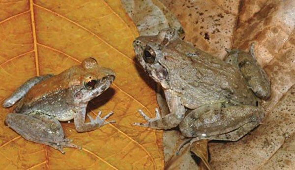 con duc (trai) va con cai thuoc loai ech limnonectes larvaepartus moi duoc phat hien o dao sulawesi, indonesia. (anh: reuters)