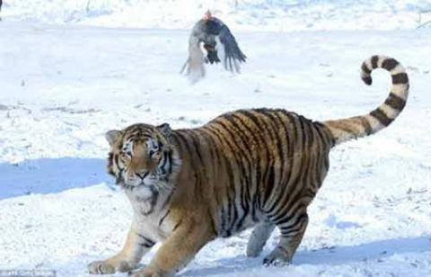 Chú gà gô đã được người quản lý công viên thả ra để làm mồi nhử cho con hổ to lớn rượt đuổi.