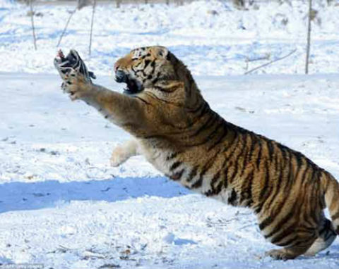 Có những lúc, con hổ đã gần như vồ được con gà bằng móng vuốt sắc nhọn nhưng rồi lại tuột mất.