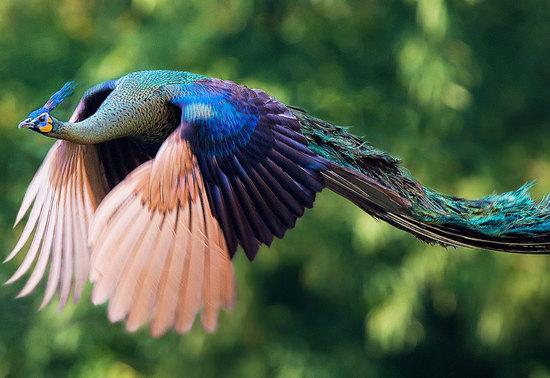 Bạn biết gì về Khổng Tước, loài chim Phật Mẫu cao quý? - Ảnh 4.
