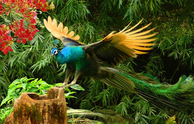Bạn biết gì về Khổng Tước, loài chim Phật Mẫu cao quý? - Ảnh 6.
