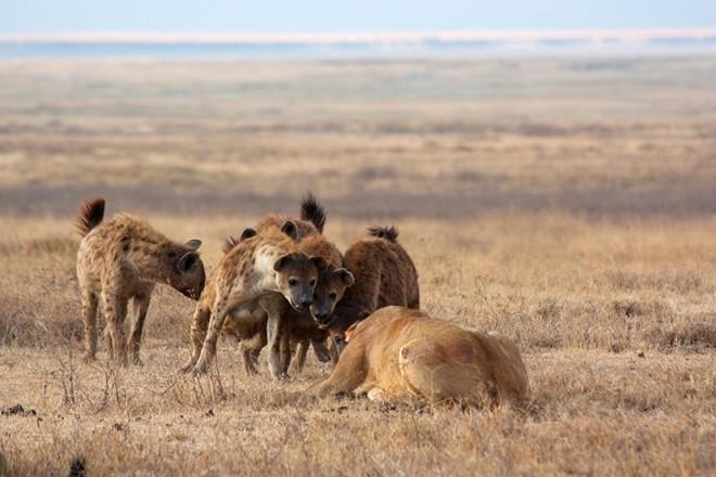 Hình ảnh Đụng độ đẫm máu giữa linh cẩu và sư tử giành con mồi số 1