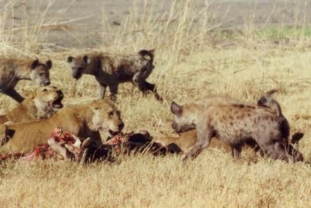 Hình ảnh Đụng độ đẫm máu giữa linh cẩu và sư tử giành con mồi số 3