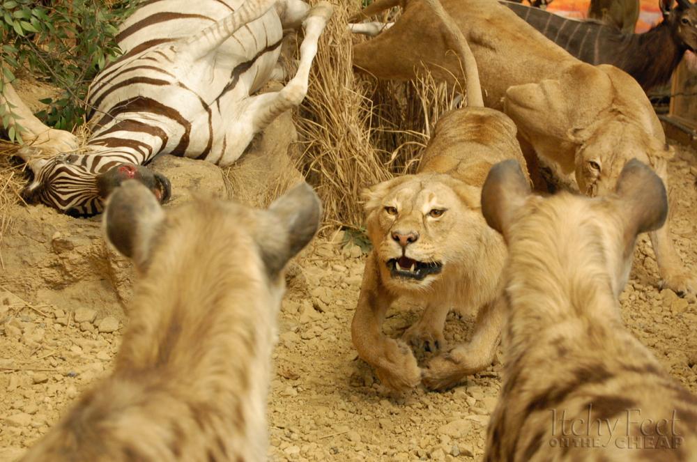 Hình ảnh Đụng độ đẫm máu giữa linh cẩu và sư tử giành con mồi số 5