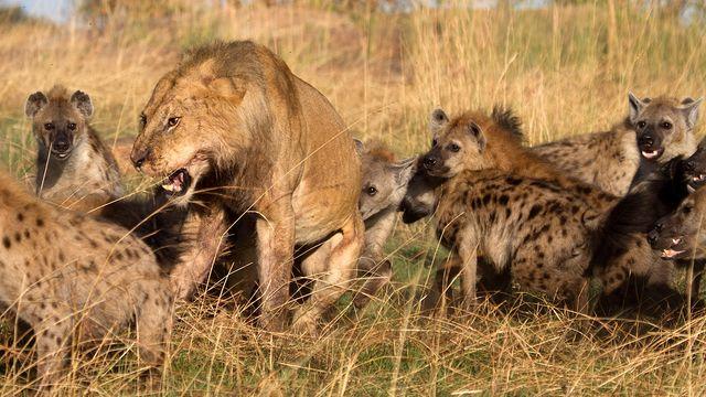 Hình ảnh Đụng độ đẫm máu giữa linh cẩu và sư tử giành con mồi số 2