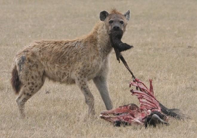 Hình ảnh Đụng độ đẫm máu giữa linh cẩu và sư tử giành con mồi số 4