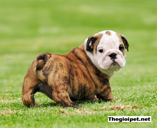 giống chó English Bulldog