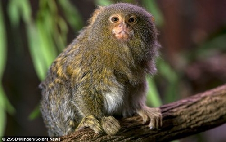 Loài khỉ lùn đuôi sóc siêu ngộ nghĩnh