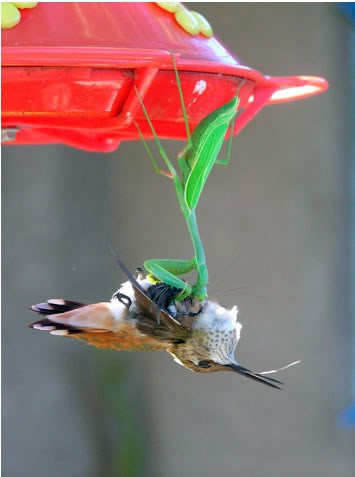 /Uploaded/thuhien/2016_09_08/praying-mantis-catches-hummingbird-picture-2_UTXQ.jpg
