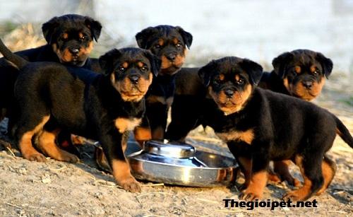 chó cảnh Rottweiler – Người vệ sỹ tin cậy