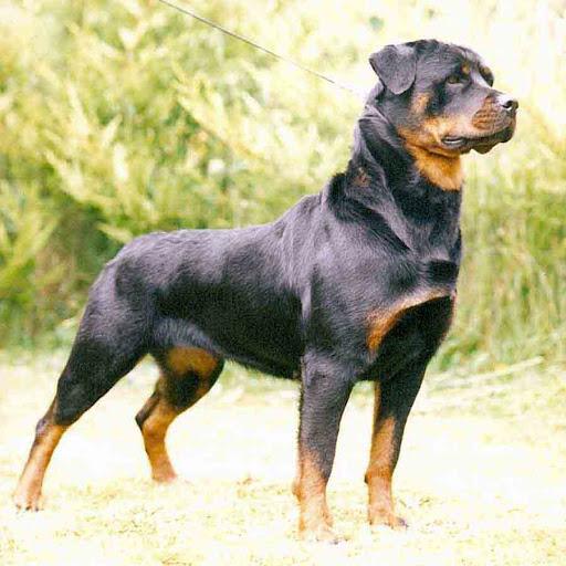 Cách chọn giống và chăm sóc chó Rottweiler