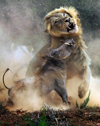 Hỗn chiến kinh hoàng giữa lợn nanh sừng châu Phi và sư tử khiến bụi bay mù mịt, lợn nanh sừng nhiều lần cố húc thủng vòm họng sư tử nhưng không thành.
