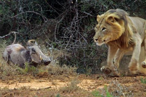 Lợn nanh sừng đã có cơ hội thoát khỏi cửa tử khi đi qua chỗ kẻ săn mồi khi nó đang ngủ, nhưng không hiểu vì lý do gì nó quay trở lại, khiến sư tử giật mình tấn công ngay tức khắc.