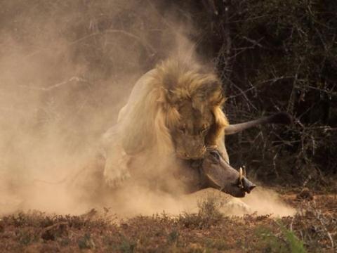 Sử tử liên tục cắn tới tấp vào đầu lợn nanh sừng khiến nó hoảng loạn, không xoay xở được cách gì để chống lại.
