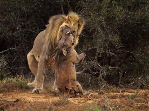 Sư tử dùng răng sắc nhọn gặm cổ con mồi tha lôi đi đánh chén.