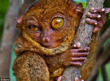 Ngộ nghĩnh loài khỉ tí hon chỉ cao hơn 10cm