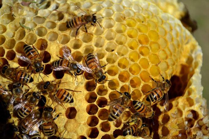 ong mat. toan bo cuoc song cua ong mat xoay quanh to - duoc xay bang sap do chung tiet ra. trong cac to nay, ong mat che bien mat hoa thanh mat va nuoi con.